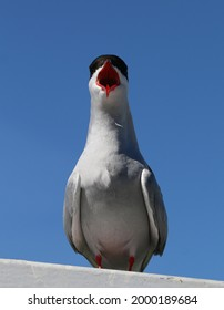 Arctic tern - face to face