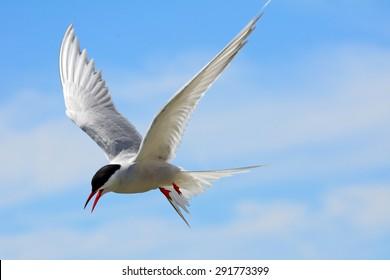 Arctic tern, Farne Islands Nature Reserve, England