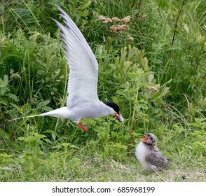 An Arctic Tern feeds its chick a fish