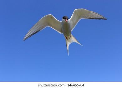arctic tern in flight over the cliffs