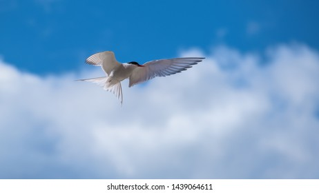 Arctic tern flying in a blue sky with clouds showing his wings and plumage
