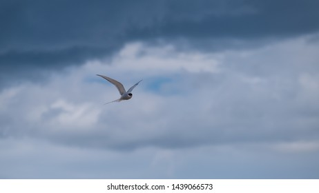Arctic tern flying in a cloudy sky showing his wings and plumage