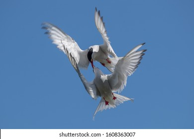 Arctic Tern Flying and Fighting