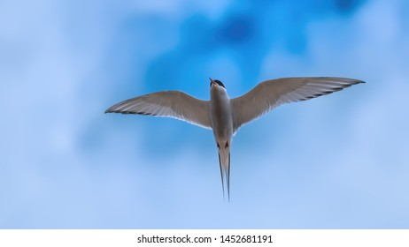 Arctic tern flying with his wings outstretched showing his feathers and plumage