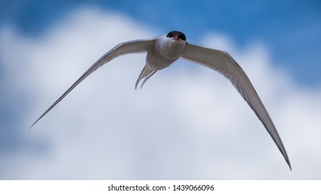 Arctic tern flying looking straight at the viewer with a menacing look and with a blue sky and clouds in the background
