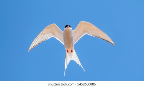 Arctic tern hovering in a blue sky with his wings outstretched showing his feathers and plumage