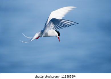 Arctic tern in mid-air