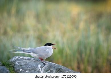 Arctic tern screaming