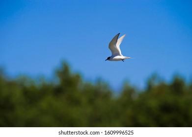 Arctic Tern (Sterna paradiesaea), Harilaid Peninsula, Vilsandi National Park, Saaremaa, Baltic Sea Island, Estonia, Baltic States, Northeast Europe