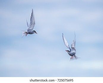 The arctic tern (Sterna paradisae) flies like fighters in the sky.