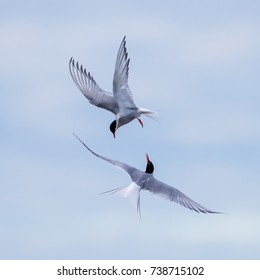 The arctic tern (Sterna paradisae) flies like dancers in the sky.