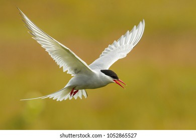 The Arctic Tern, Sterna paradisaea is flying and looking for its chicks to feed them, they nest in typical medow, at the famous Jökulsárlón glacier lake in Iceland