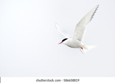The Arctic tern (Sterna paradisaea) is a seabird of the tern family Sternidae. This bird has a circumpolar breeding distribution covering the Arctic and sub-Arctic