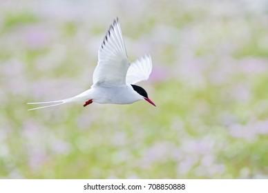 Arctic Tern - Sterna paradisaea, Shetlands, UK