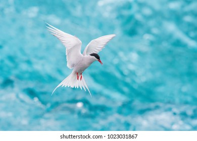 The Arctic Tern, Sterna paradisaea is soaring and  looking for the fish, in the background are pieces of blue glacier, at the famous glacier lake Jökulsárlón in Iceland