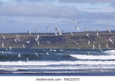 Arctic terns flying over the beach, Iceland, region Tjoernes.