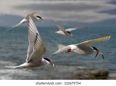 Arctic Terns returning to their mates with food for their chicks.
