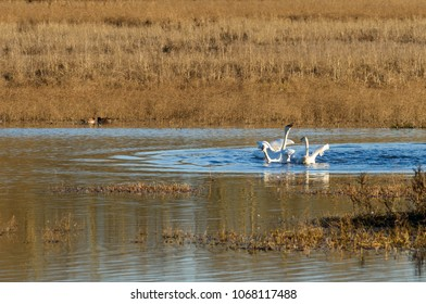 Arctic Tundra Swans, Cackling Geese and Ducks Wintering in the Mid-Willamette Valley, Marion County, Oregon