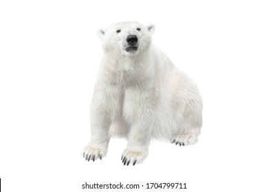 Arctic white bear isolated on a white background.