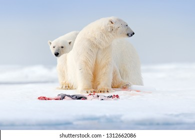 Arctic wildlife, animal feeding behaviour. Two polar bears with killed seal. White bear feeding on drift ice with snow, Svalbard, Norway. Bloody nature with big animals. Dangerous animal with carcass.