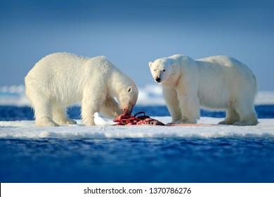 Arctic wildlife, animal food behaviour. Two polar bears with killed seal. White bear feeding on drift ice with snow, Manitoba, Canada. Bloody nature with big animals. Dangerous baer with carcass.