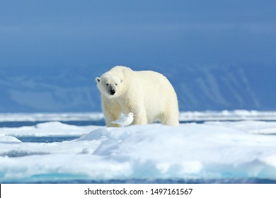 Arctic wildlife, funny image in nature. Polar bear on the ice. Two bears love on drifting ice with snow, white animals in nature habitat, Svalbard, Norway. Animals playing in snow.