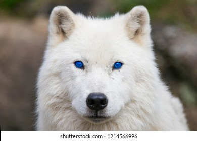 Arctic wolf with blue eyes portrait