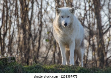 Arctic wolf (Canis lupus arctos), also known as the white wolf or polar wolf