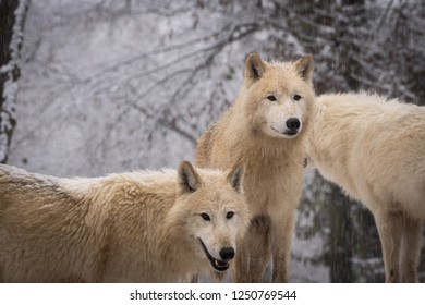 Arctic Wolf (Canis lupus arctos) aka Polar Wolf or White Wolf in deep woods covered with snow. Arctic wolf in natural forest environment.