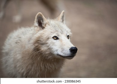 Arctic Wolf (Canis lupus arctos) aka Polar Wolf or White Wolf - Close-up portrait of this beautiful predator