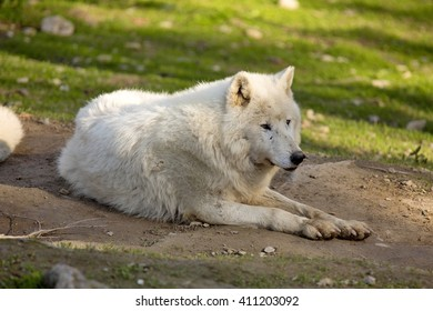 Arctic wolf, Canis lupus arctos, is white in color