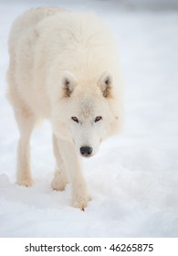 Arctic wolf (Canis lupus arctos) walks on snow in winter. Outdoor wildlife nature.