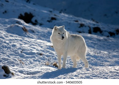 Arctic wolf (Canis lupus arctos) standing in the winter snow in Canada