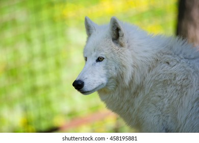 Arctic wolf (Canis lupus tundrarum) portraits of my favorite animal in the forest