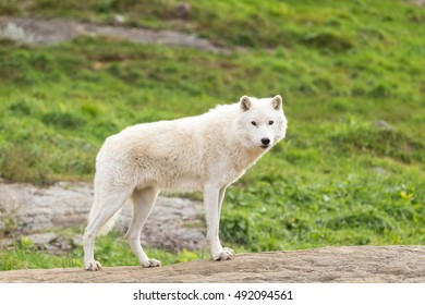 Arctic Wolf in fall