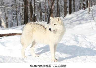 arctic wolf in forest during winter