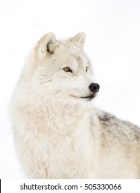 Arctic wolf isolated on white background closeup in the winter snow in Canada