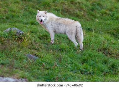 Arctic wolf, pictured in late autumn, north Quebec, Canada.
