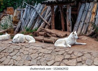 Arctic Wolf or Polar White Wolf, is a subspecies of the Gray Wolf, a mammal of the family Canidae. Arctic Wolves inhabit the Canadian Arctic, Alaska and  Greenland