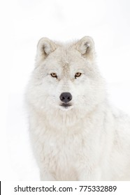Arctic wolf portrait  isolated on white background walking in the winter snow in Canada