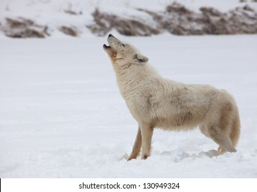 Arctic wolf profile as she howls in the winter snow