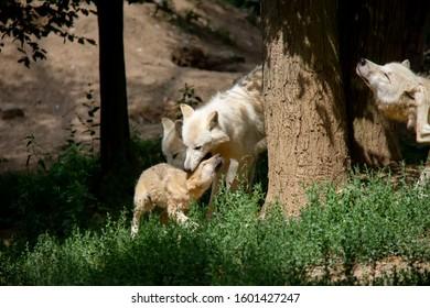 Arctic wolf with puppy. Canis lupus arctos.