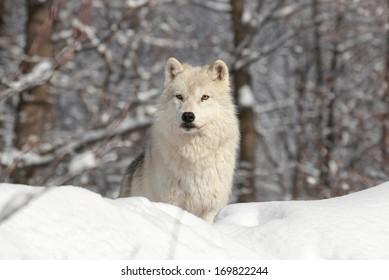arctic wolf resting