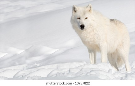 Arctic Wolf in the Snow and Looking at the Camera