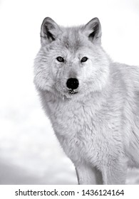 Arctic Wolf standing in the snow, watching, alert,