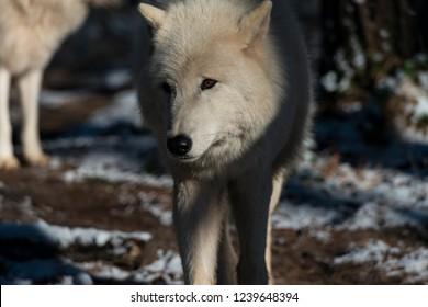 Arctic wolf (White wolf, canis lupus arctos)