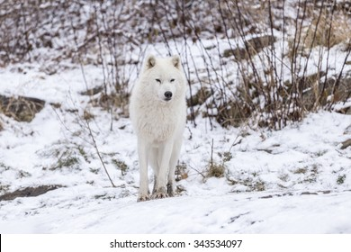 An Arctic Wolf in the winter