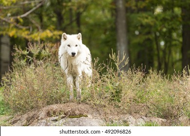 An Arctic Wolf in the woods