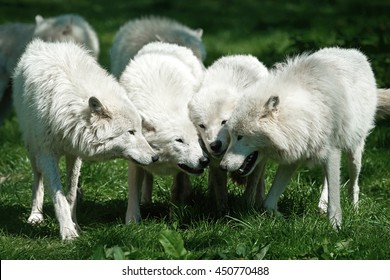 Arctic wolfes (Canis lupus arctos) standing in grass putting their heads together