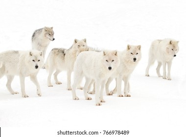 Arctic wolves isolated on white background standing in the winter snow in Canada